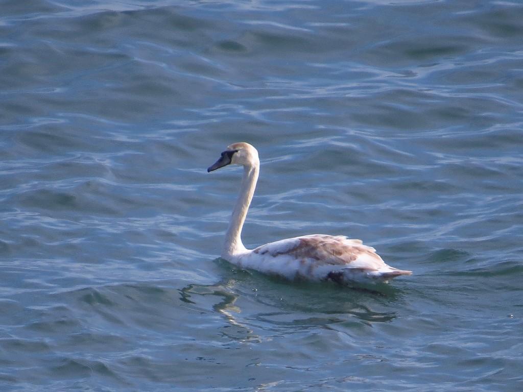 Mute Swan, off Fog Station, by Brett Richards