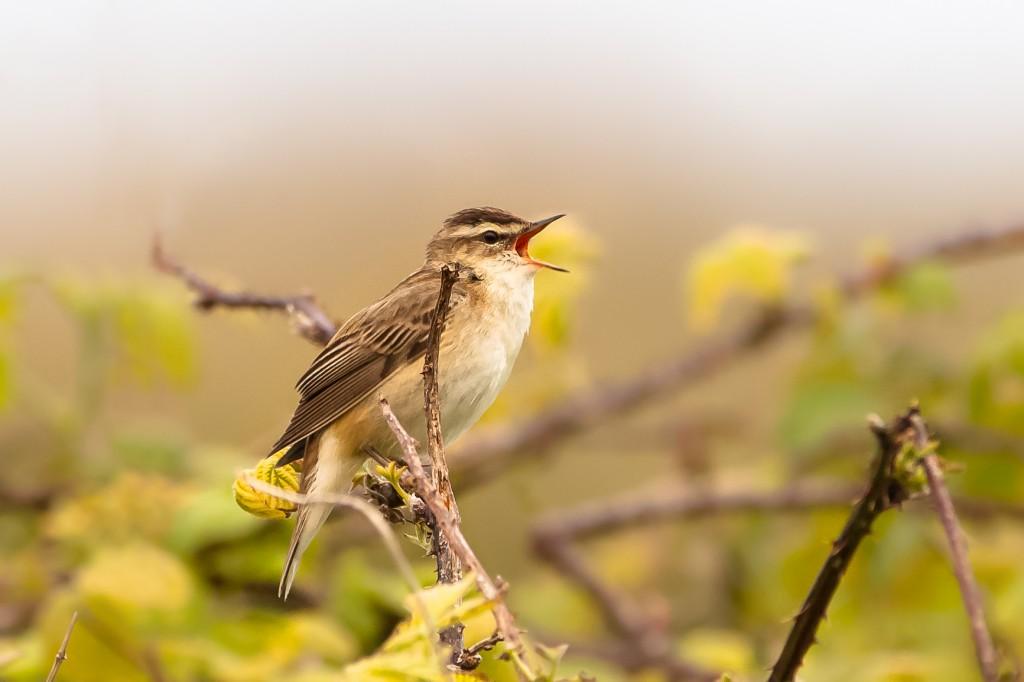 Sedge Warbler, by Andrew Allport