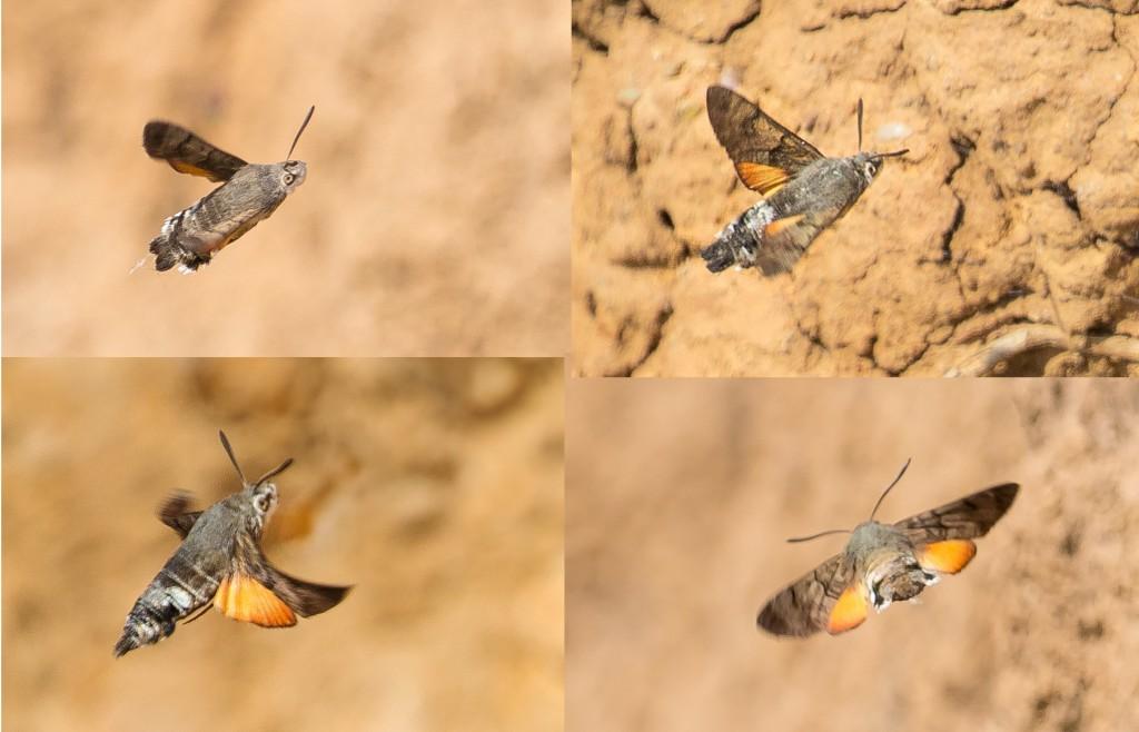 Hummingbird Hawkmoth, by Andrew Allport