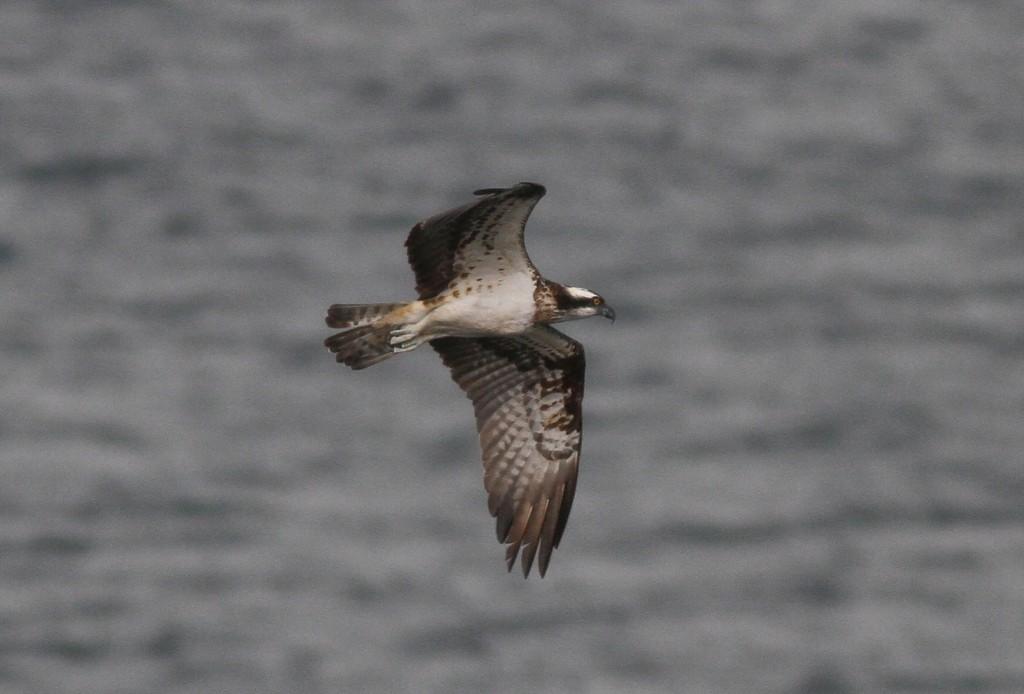 Osprey, Bempton RSPB, by Chrys Mellor