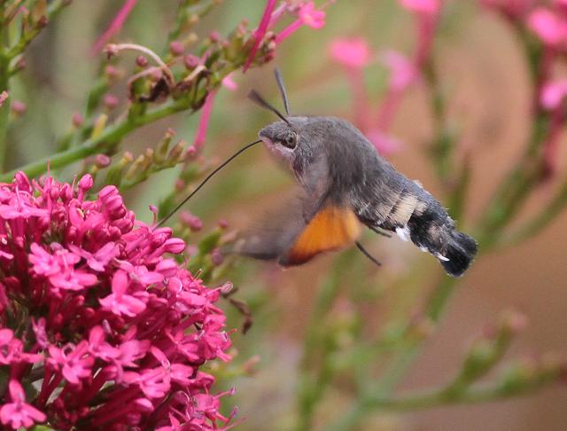 Hummingbird Hawkmoth by Martin Garner