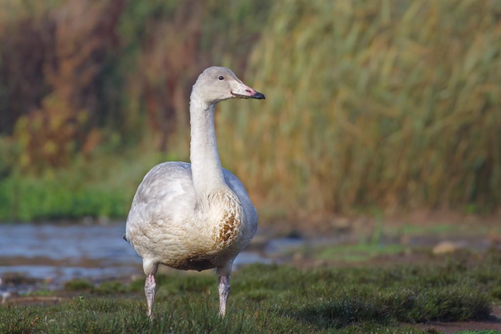 juvenile Whooper Swan, Thornwick Pool,by Andrew Allport