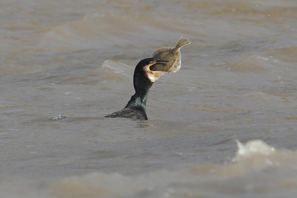 Cormorant, South Landing, by Alan Walkington
