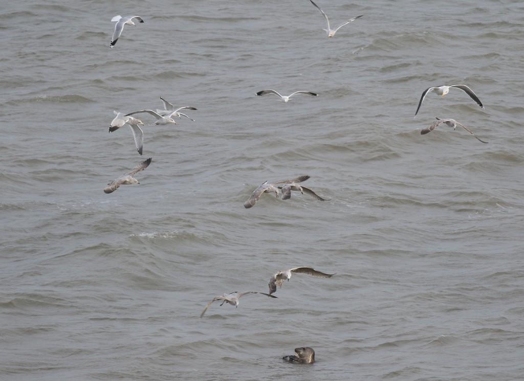 Grey Seal with attendant gulls, Fog Station, by Craig Thomas