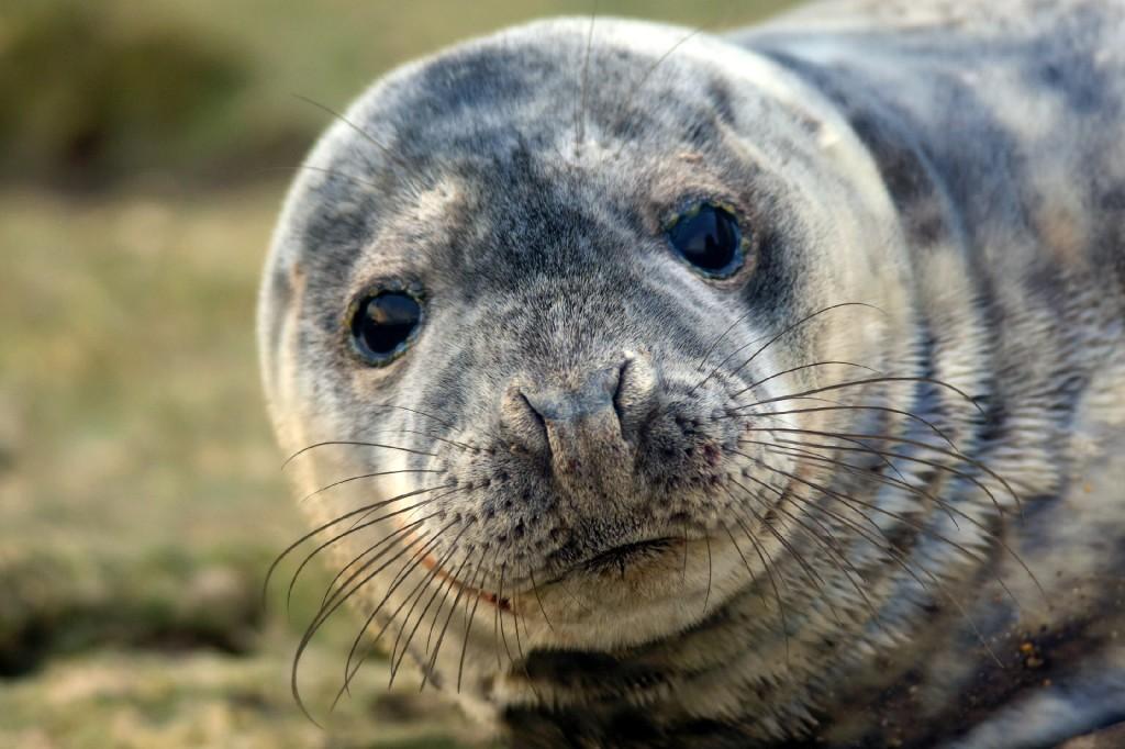 Grey Seal, Flamborough, by Andy Hood