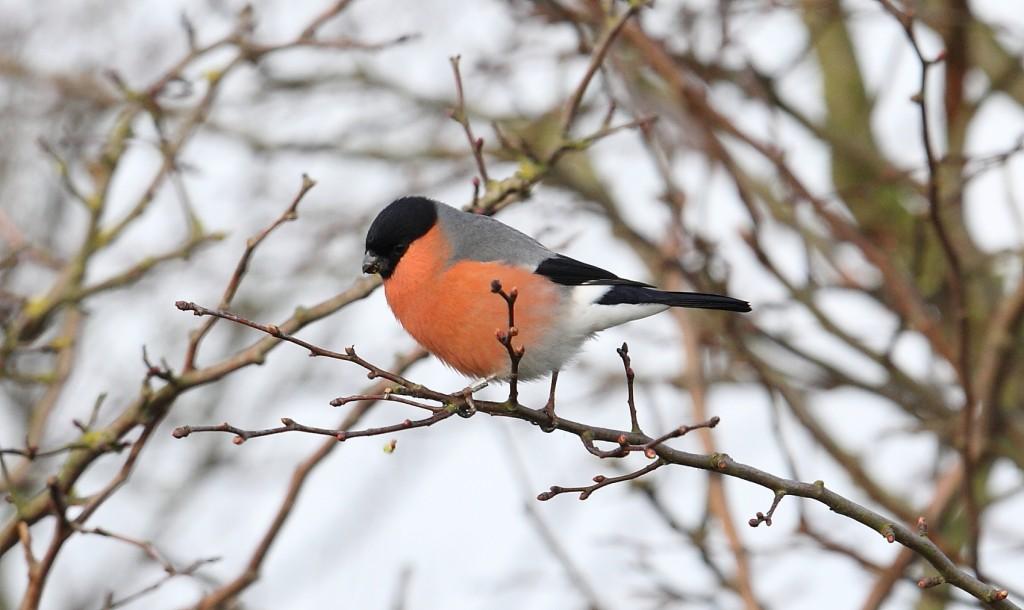 Bullfinch, South Landing, by Alan Walkington