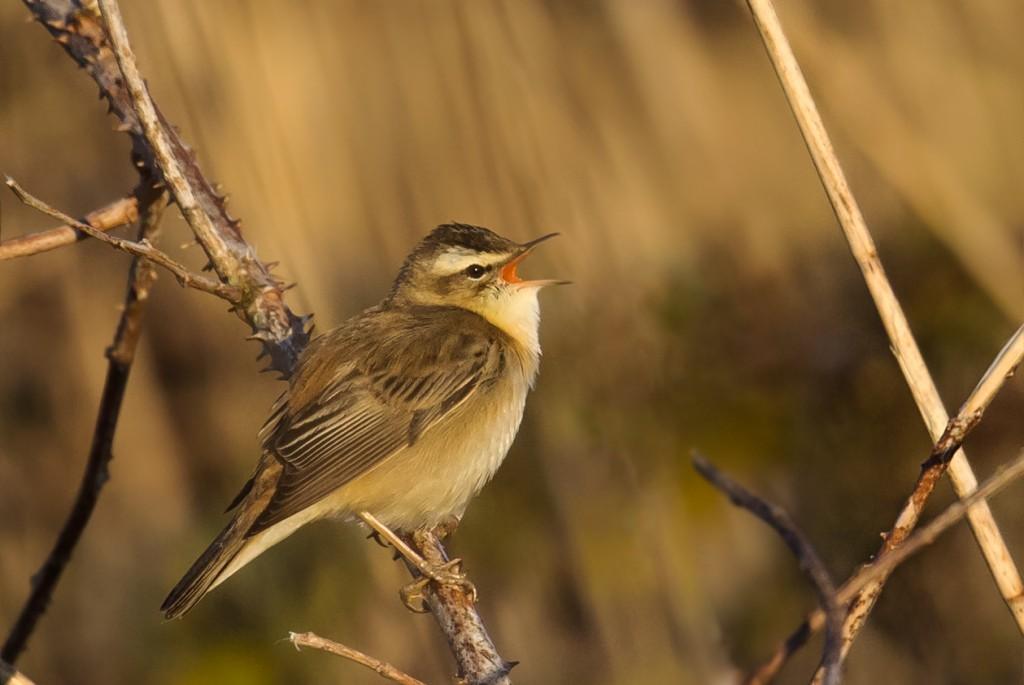 Sedge Warbler, Thornwick, by Andrew Allport