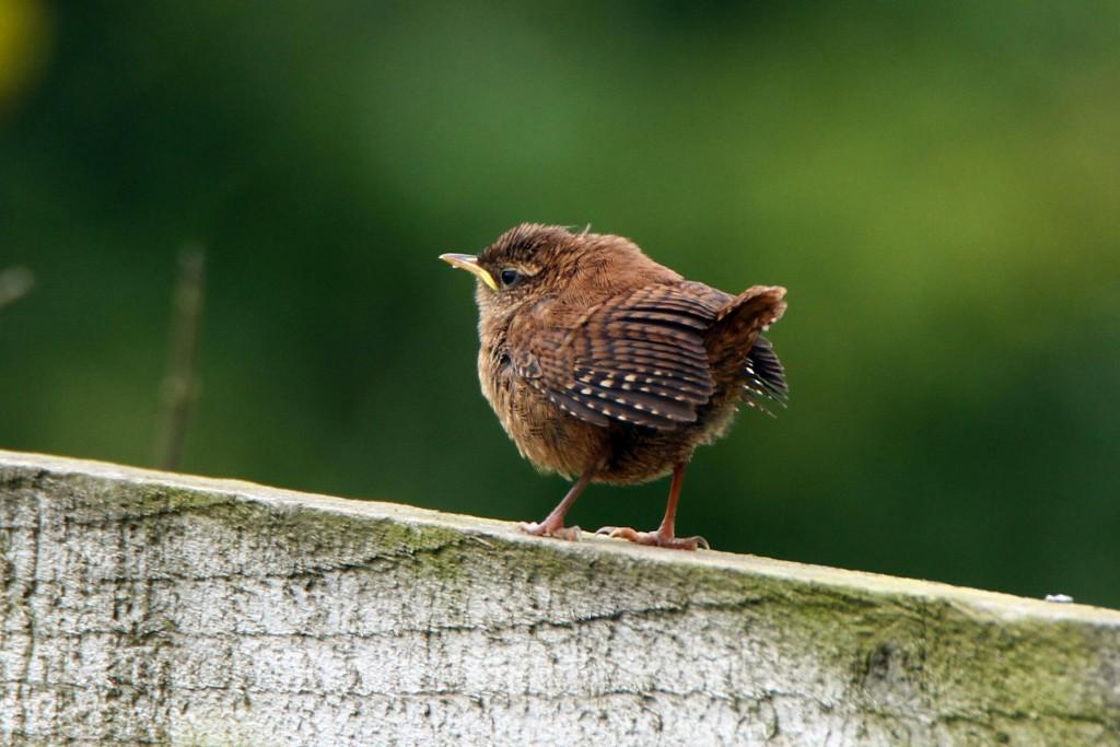 Wren, Thornwick CP, by Mike Stevenson