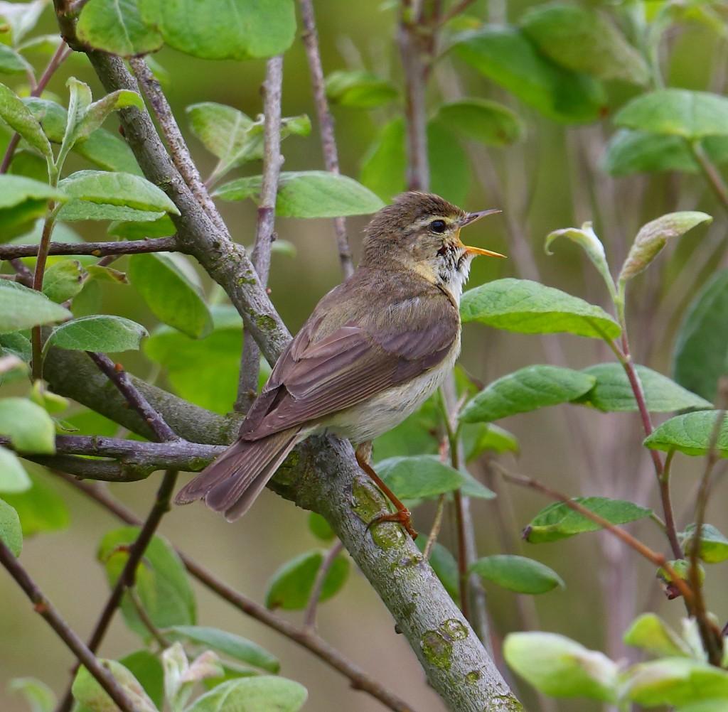 Willow Warbler, Thornwick, by Alan Walkington