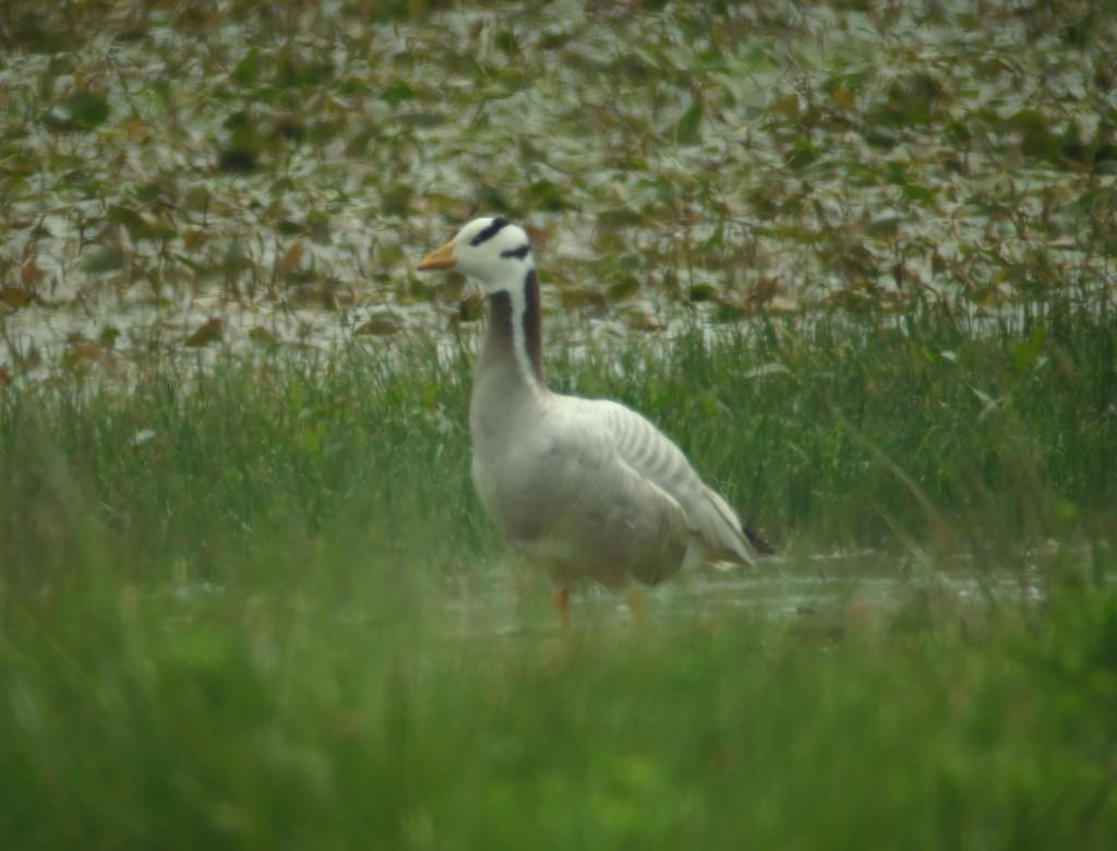 Bar-headed Goose, North Marsh, by Brett Richards