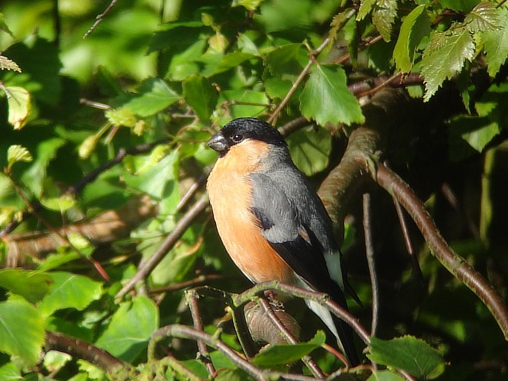 Bullfinch, Flamborough, by Andy Hood