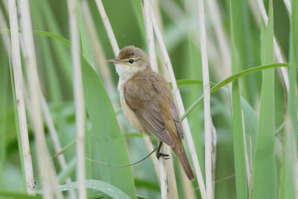 Reed Warbler, Thornwick CP, by Andy Hood