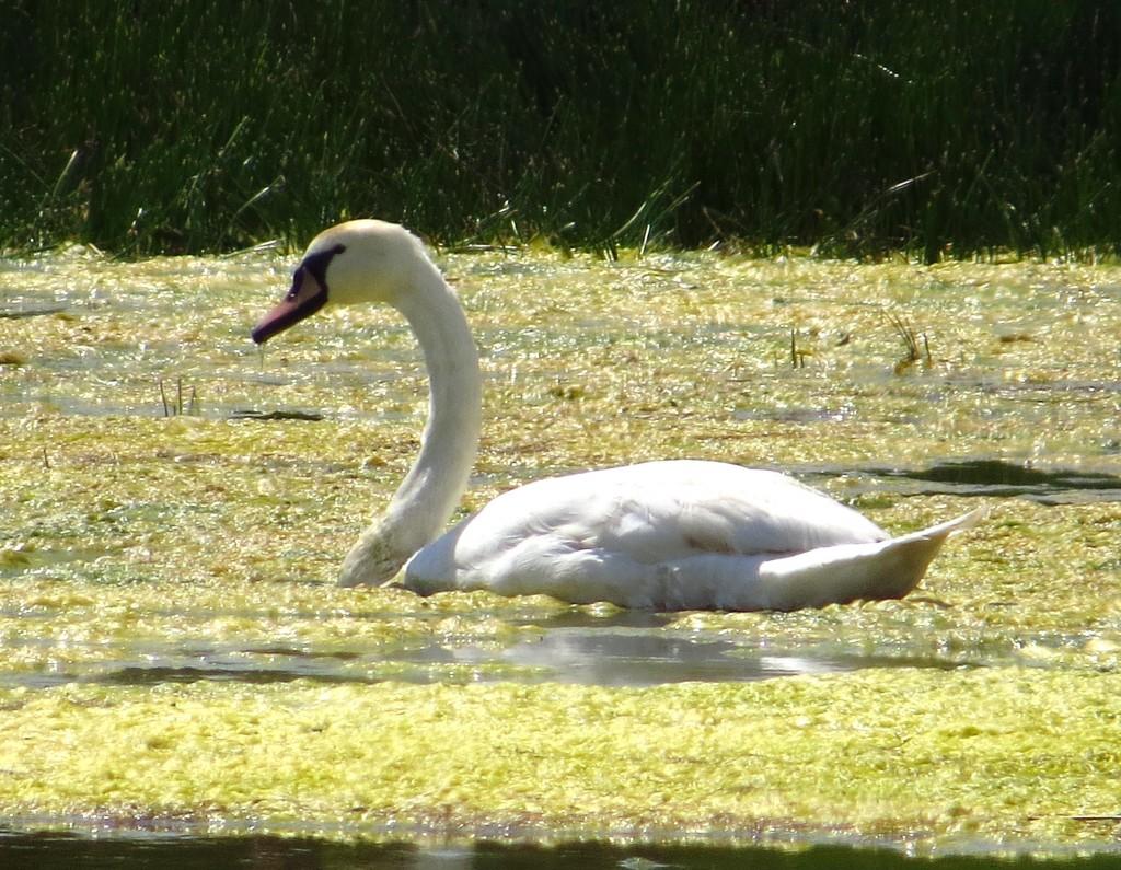 Mute Swan, North Marsh, by Brett Richards