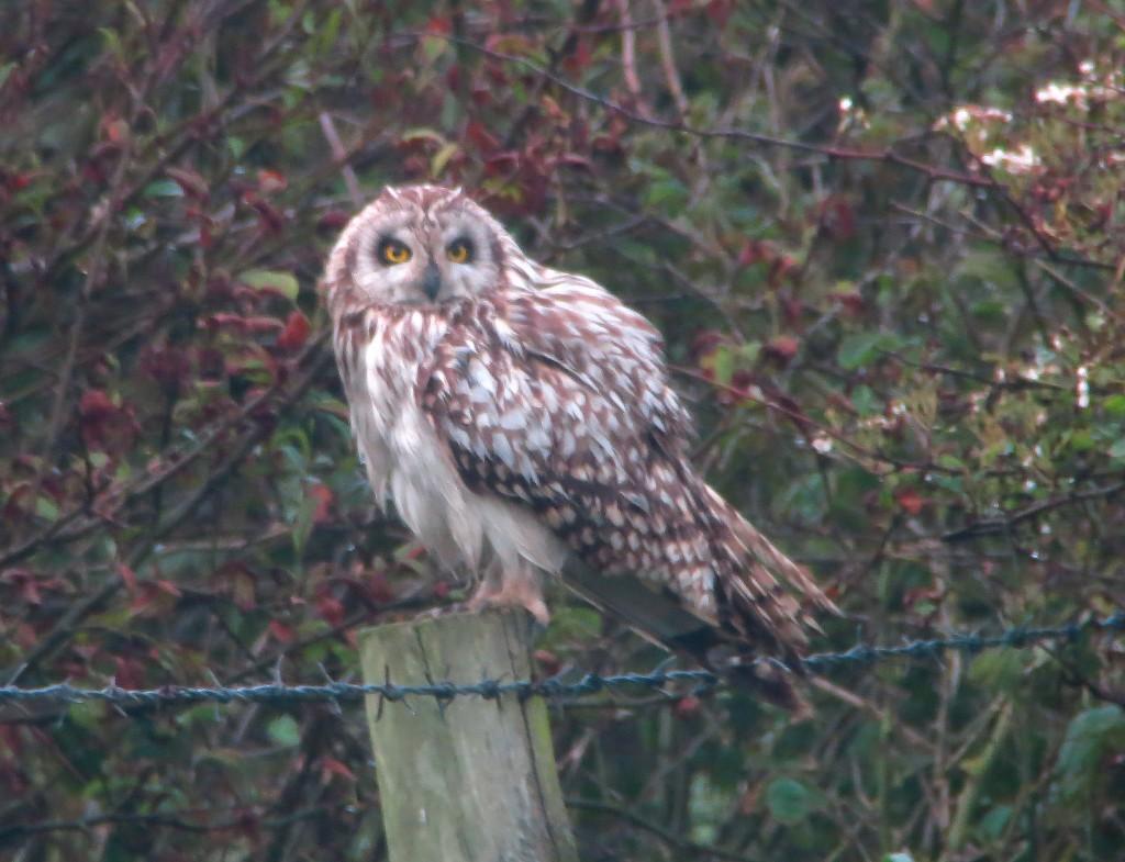 Short-eared Owl, Gorse Field, by Brett Richards