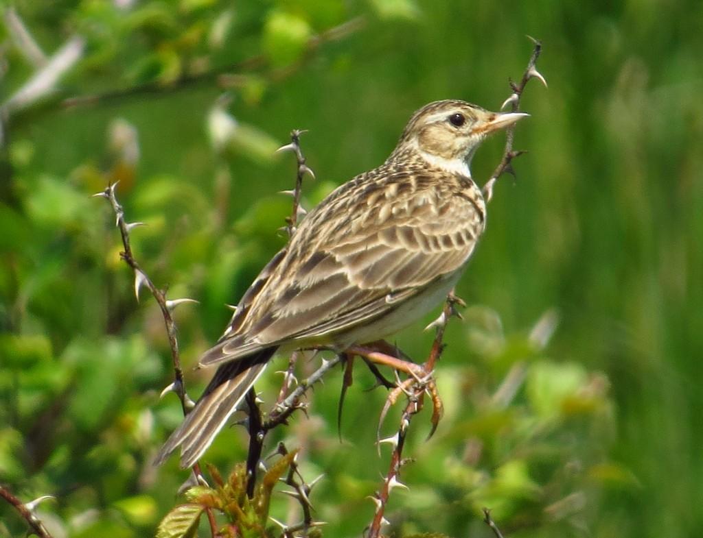 Skylark, Thornwick CP, by Brett Richards
