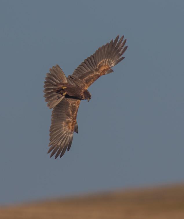 Marsh Harrier, Buckton, by Paul Reed