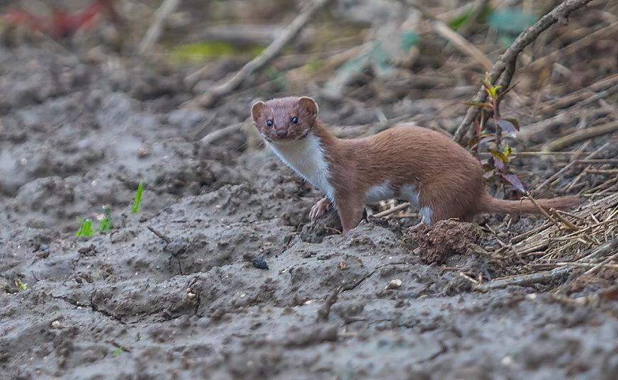Weasel, Buckton, by Paul Reed
