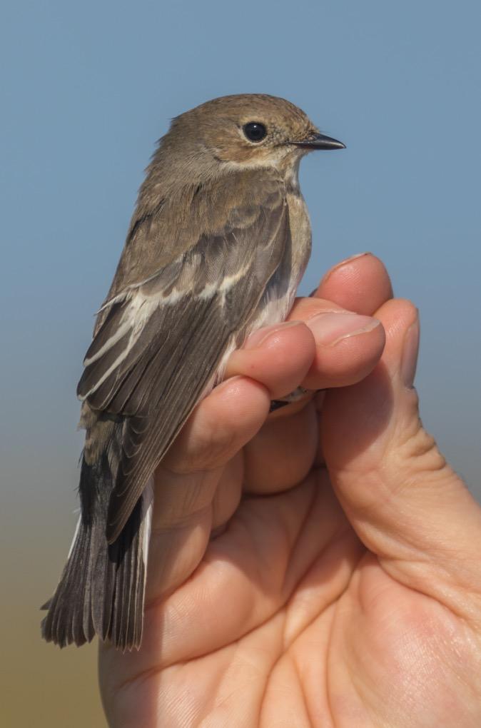 Pied Flycatcher, Buckton, by Paul Reed