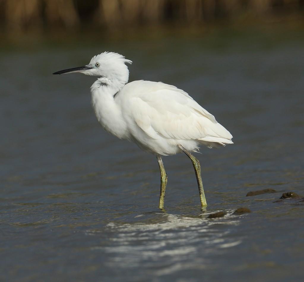 Little Egret, Thornwick Pools, by Alan Walkington