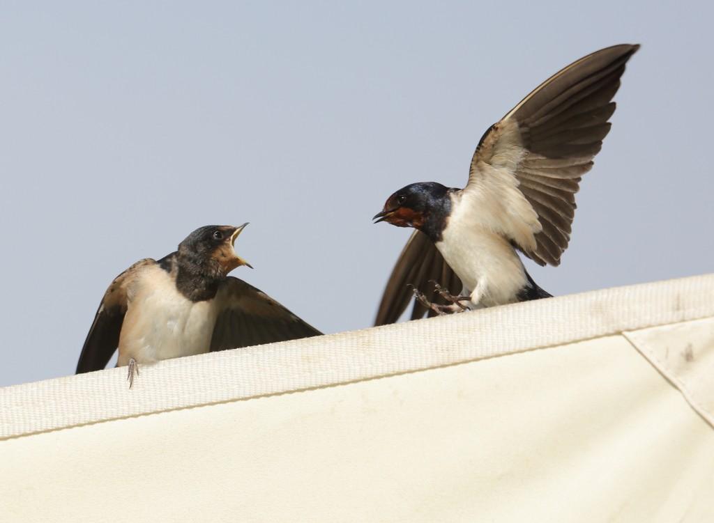 Swallows, Thornwick, by Alan Walkington