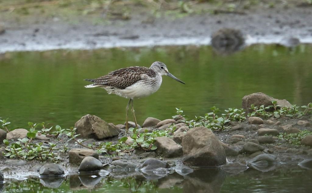 Greenshank, Buckton Pond, by Alan Walkington