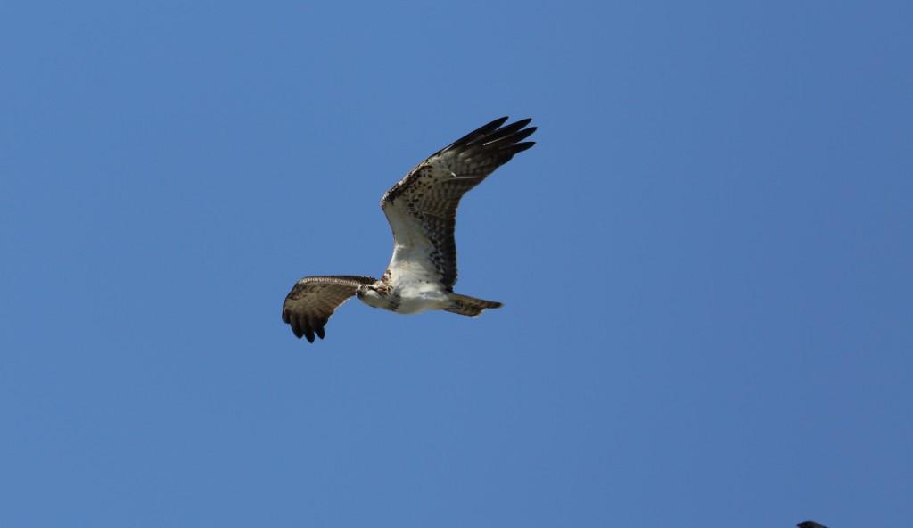 Osprey, North Landing, by Alan Walkington