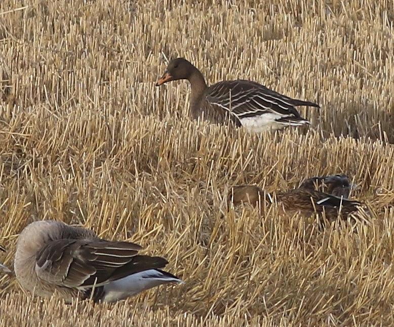 Taiga Bean Goose (with Greylags and Mallard), North Marsh, by Craig Thomas