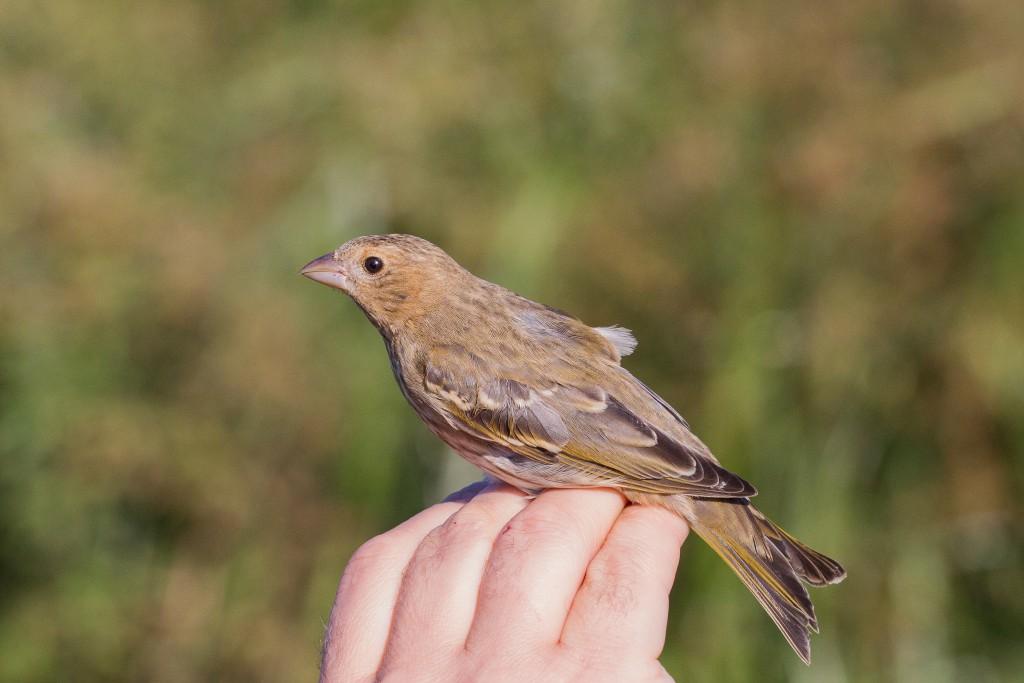 Common Rosefinch, Buckton, by Dave Aitken