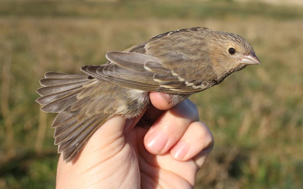 Common Rosefinch ringed at Buckton, Mark Thomas