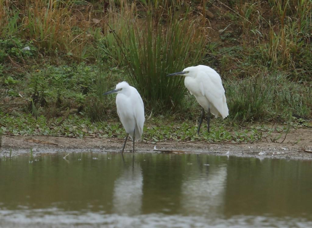 Little Egrets, Thornwick Pools, by Alan Walkington