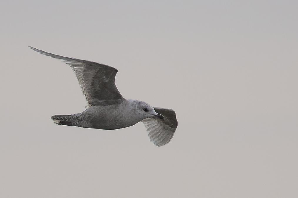 Iceland Gull, Fog Station, by Andrew Allport